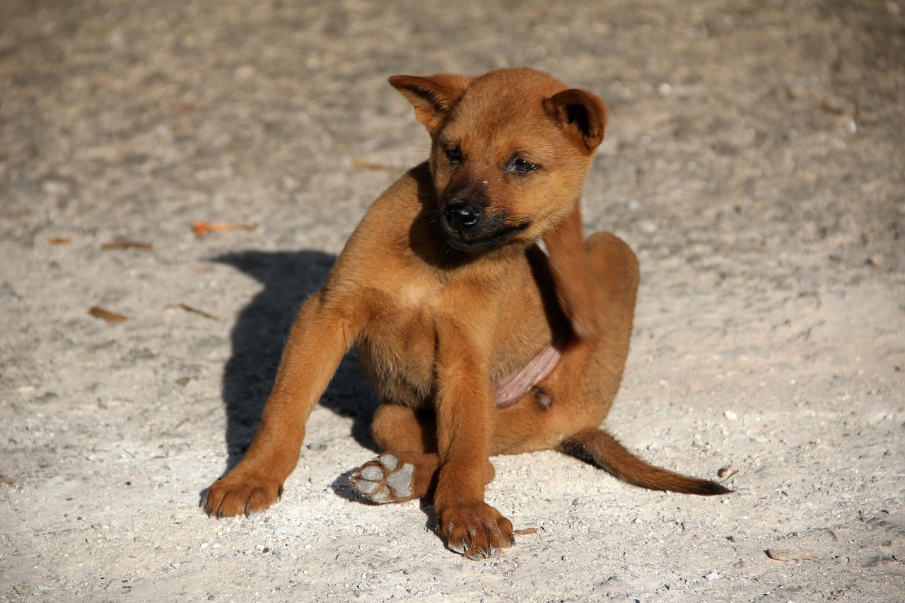 Health Problems Due To Flea Infestation In Dogs And Cats